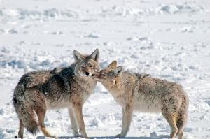 Cayotes at the Elk Preserve (3) JA