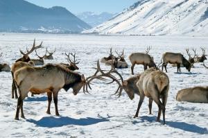 Elk at Play JA