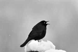 Grand Tetons Blackbird 5-10.11 062ps