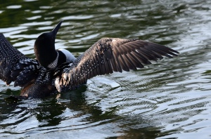 Loon on Lake Lizzy