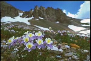The beautiful Columbine flower