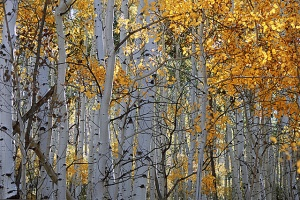 Glorious Aspens