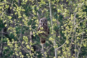 A Great Gray Owl near the Canadian Border.