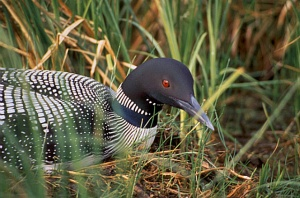 A nesting Loon in Northern Minnesota