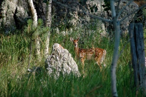 Fawn at Custer State Park