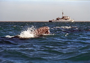 Great Gray Whale Baja of California