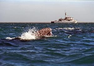 Great Gray Whale Baja of California