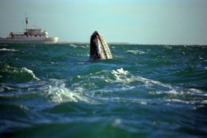 Great Gray Whale Our boat in background Baja, CA