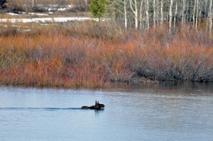 Swimming across the Snake River at Oxbow Bend