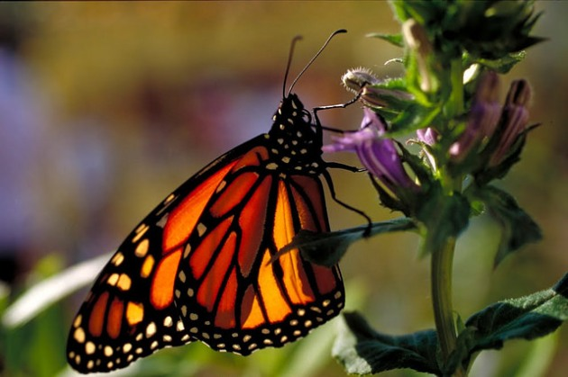 The Monarch Butterfly. My favorite image: the symbol of transformation.